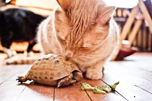 """our cat Monty """"kissing"""" our Greek tortoise Hercules."""