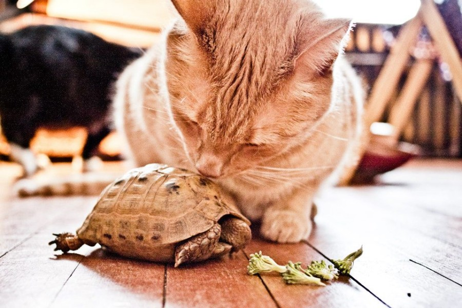 "our cat Monty ""kissing"" our Greek tortoise Hercules."